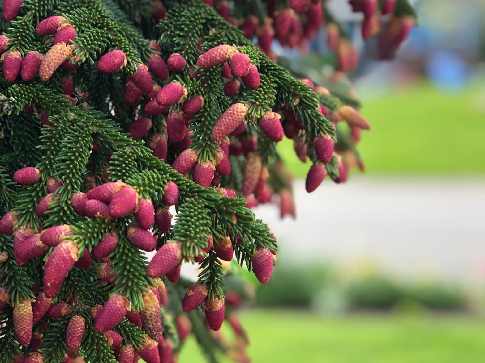 Skagit Spruce Cones