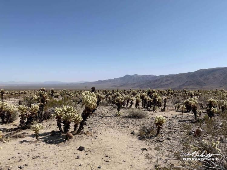 Wide photo of Cholla Cactus Garden